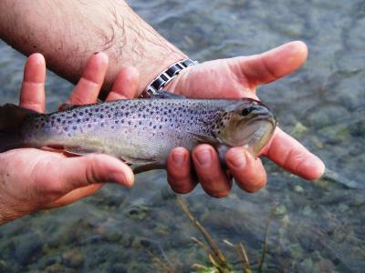 QUALITY BROWN TROUT