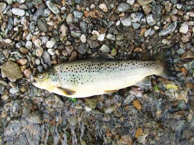 2¾lbs Wild Loch Earn Brownie