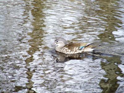 Mandarin Ducks on Loch Earn