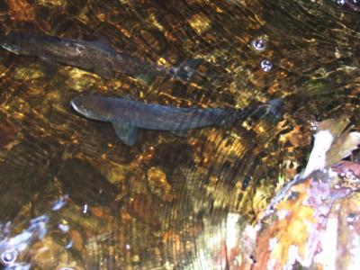 Wild Loch Earn Brown Trout