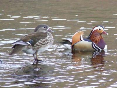 Mandarin Ducks return to Loch Earn